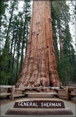 Генерал Шерман - самое большое дерево в мире